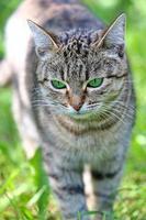 chat rayé aux yeux verts photo