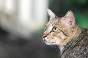 chat américain à poils courts photo