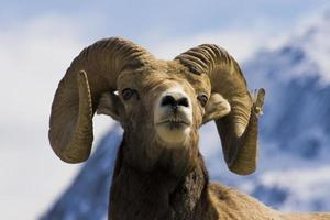 Gros coup de tête de mouton à cornes photo