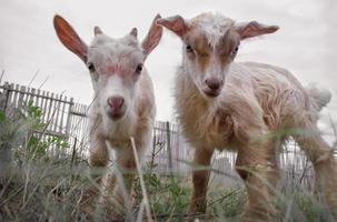 enfants de chèvre