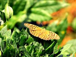 Argynnis paphia fritillaire lavé à l'argent photo
