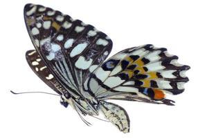 papillon citron vert machaon agrumes volants