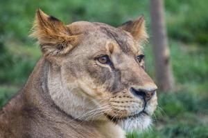 mère lion photo