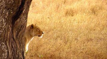 lionne du Serengeti photo
