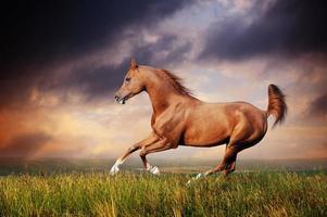 beau cheval arabe rouge courir au galop photo
