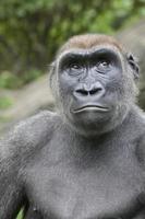 gorille photo