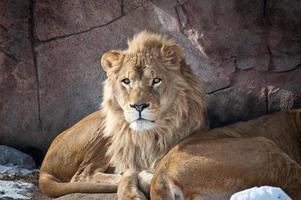 lions dans un zoo photo