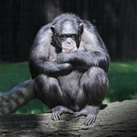 le chimpanzé (pantroglodytes). photo