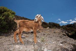 chèvre dans les andes centrales photo