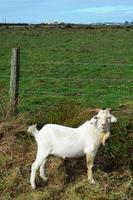 chèvre souriante photo