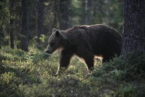 ours brun européen, ursus arctos photo