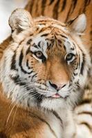 tigre de Sibérie photo