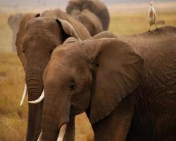 éléphants et oiseau