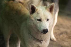 chien husky sibérien photo