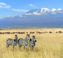 zèbre sur prairie en afrique photo