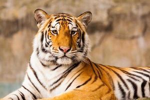 grand tigre regardant photo