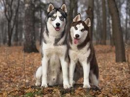 portrait de husky sibérien photo