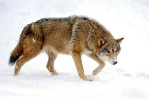 Loup photo