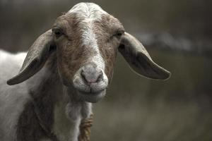ma chèvre