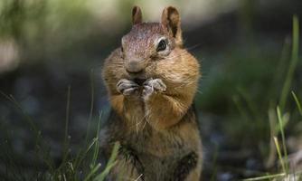 Écureuil à manteau doré avec des joues pleines de nourriture