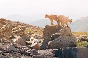 chèvres de montagne bébé photo