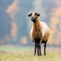 chèvre sur le gras vert photo