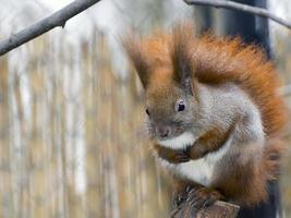écureuil roux eurasien (sciurus vulgaris)