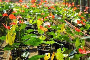 Gros plan d'Anthurium andreanum rouge - lis flamant rose