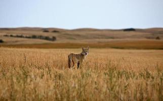 jeune coyote dans un champ de la saskatchewan photo