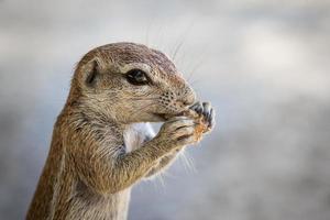 écureuil terrestre butinant