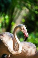 oiseau flamant rose