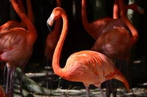 gros plan de flamants roses