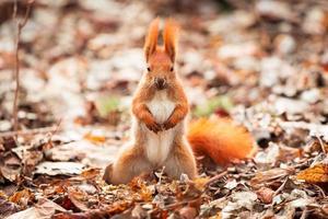écureuil roux dans le parc