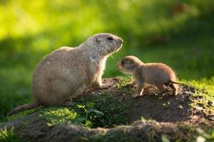 mignon chien de prairie à queue noire avec un jeune (cynomys ludovici