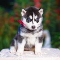 chiot husky sibérien