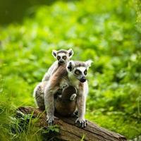 lémur kata (lémur catta) photo