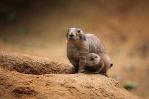 chien de prairie à queue noire (cynomys ludovicianus)
