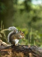 écureuil gris juvénile (sciurus carolinensis)