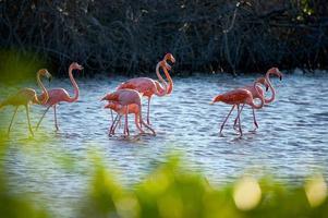 flamants roses dans la mangrove