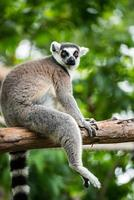lémur catta (lemur catta) photo