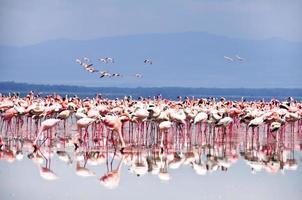 flamants roses dans le lac