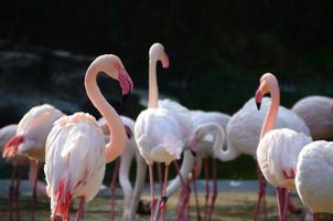 de nombreux flamants roses dans le zoo