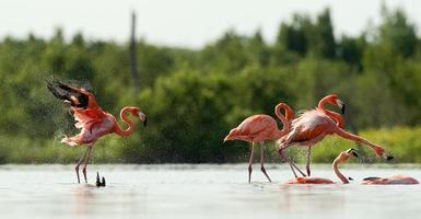 le flamant rose court sur l'eau avec des éclaboussures