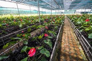 Jardin fleuri d'anthurium rouge ou flamant rose