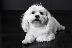 chien maltais photo
