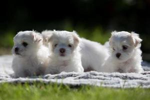 quatre chiots mignons