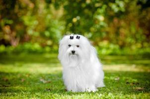 portrait de chien maltais