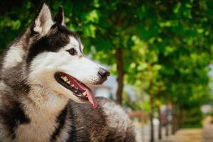 portrait d'un petit chien husky. photo