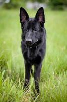 chien de berger allemand sur l'herbe photo