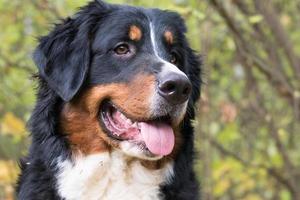 portrait de chien de montagne bernois